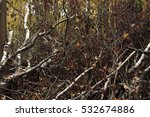 texture of fallen birches | Shutterstock . vector #532674886