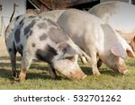 group of large swine eating... | Shutterstock . vector #532701262