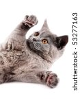 Stock photo british kitten isolated on the white 53277163