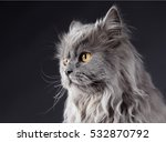 Grey Cat Portrait In Studio...