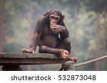 Baby Chimpanzee At A Zoo In...