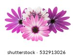 Stock photo osteosperumum flower daisy isolated on white background macro closeup 532913026