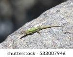 Andalucian Wall Lizard ...