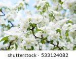 White Apple Flowers. Beautiful...