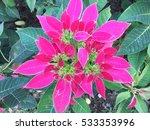 pink poinsettia  euphorbia... | Shutterstock . vector #533353996