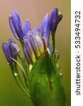 Small photo of New agapanthus flower bud almost ready to open up into full bloom on a rainy morning