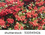 Red Berries On Pyracantha Bush...