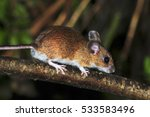 Adult Male Wood Mouse