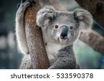 Stock photo a cute koala 533590378