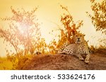 female cheetah laying on sunset ... | Shutterstock . vector #533624176