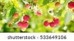 Branch Of Ripe Raspberries In ...