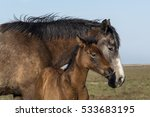 pure bred spanish foal and... | Shutterstock . vector #533683195