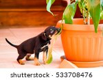 Small photo of Puppy Pinscher