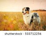 australian shepherd puppy on a... | Shutterstock . vector #533712256
