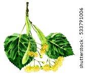 fresh flower and leaf of linden ... | Shutterstock . vector #533791006