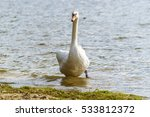 White Swan Stepping Out Of...