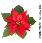 Live Christmas Flower Red...