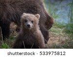 Alaskan Brown Bear Cub Along...