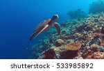 Green Sea Turtle Swims On A...