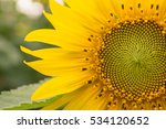 Close Up Sunflower.