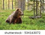 european brown bear in a forest ... | Shutterstock . vector #534163072