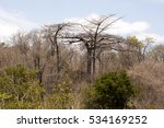 Small photo of Diego Suarez Baobab, Adansonia suarezensis, Ankarana reservation, Madagascar