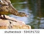 mallard  anas platyrhynchos  | Shutterstock . vector #534191722