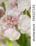 White Lilac Flowers Background