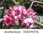 desert rose  impala lily  mock...   Shutterstock . vector #534295576