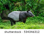 Behavior Of Tapir.
