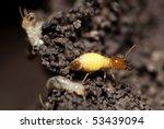 Formosan Termite Colonies...
