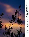 Small photo of sunset and bird sunset sky background Great Reed Warbler / Acrocephalus arundinaceus