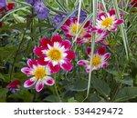 dahlias in a cottage garden... | Shutterstock . vector #534429472