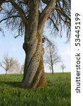 An Old Walnut Tree With...