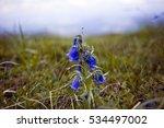 Carpathian Bell   Flowers Grow...