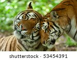 male and female tiger in a...   Shutterstock . vector #53454391