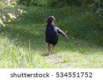 Small photo of Native bird Takahe, New Zealand.