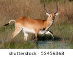 A Red Lechwe Antelope Walking...