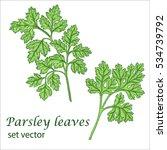 parsley leaves. vector drawing .... | Shutterstock .eps vector #534739792