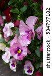 beautiful blooming pink pansies    Shutterstock . vector #534797182