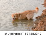 Golden Retriever In Play At Th...
