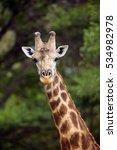 the south african giraffe or... | Shutterstock . vector #534982978