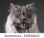 angry cat portrait in studio | Shutterstock . vector #535050622
