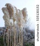 Pampas Grass  Hoarfrost