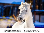White Horse Portrait