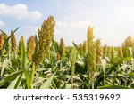 sorghum or millet field with... | Shutterstock . vector #535319692