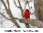 Male Cardinal In Snow  ...