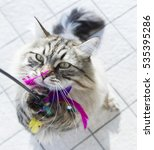 Stock photo siberian breed of cat playing with a feather 535395286