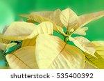 the poinsettia yellow flowers ... | Shutterstock . vector #535400392