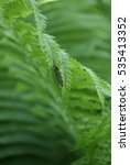 Small photo of Insect Limoniidae on green leaf.